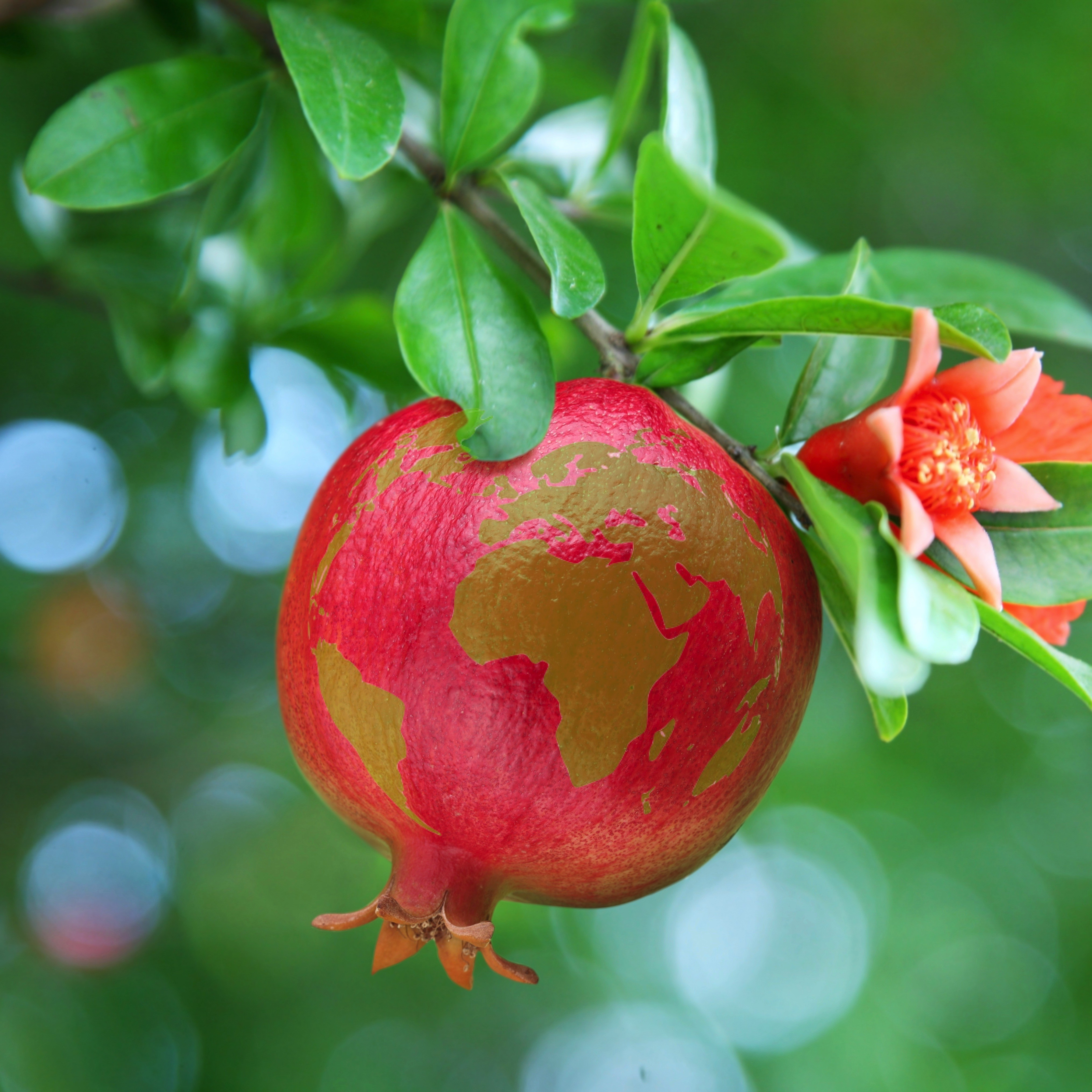 Sustainable agriculture: Amigra chooses only organic pomegranate.